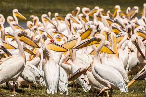 pelikáni v Nakuru