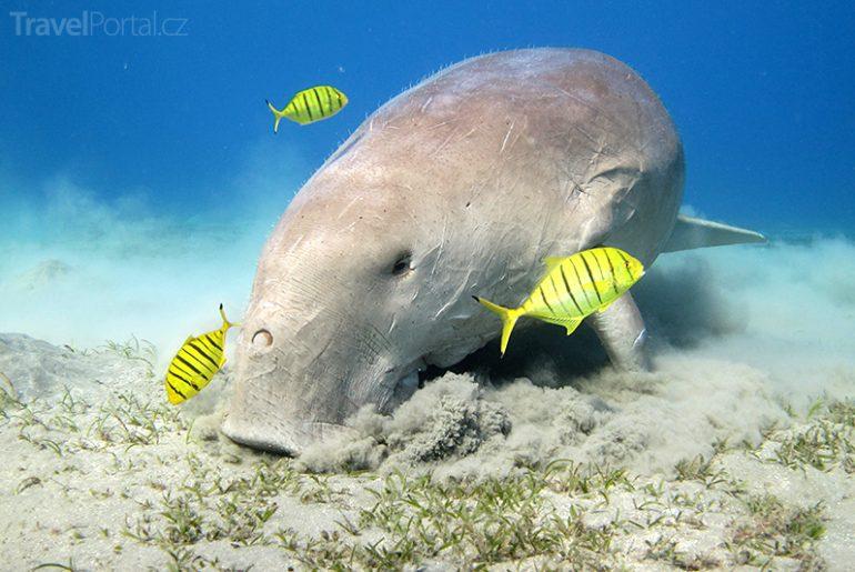 dugong alias mořské prase