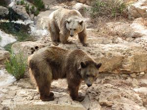 syrští hnědí medvědi