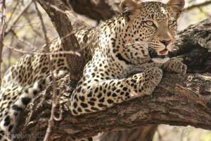 leopard v Nakuru