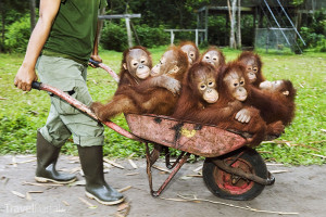 mláďata orangutana