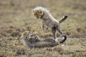 mláďata v Ngorongoro