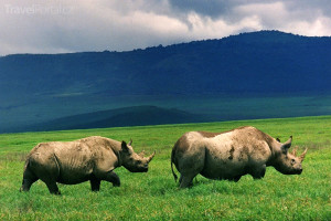 nosorožci v Ngorongoro