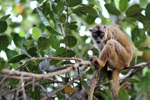lemur na Mayotte