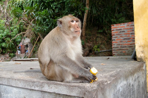 opice v severním Vietnamu