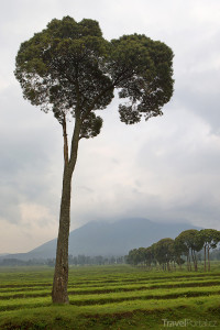 Gorily se pohybují zejména v oblasti Virunga Volcano