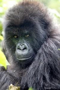 gorila v národním parku Virunga