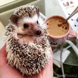 kavárna Harry nabízí ježky na hraní
