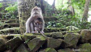 opice ve městě Ubud