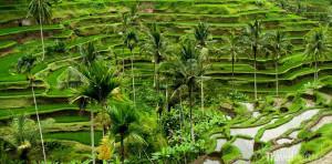 rýžové terasy v městě Ubud