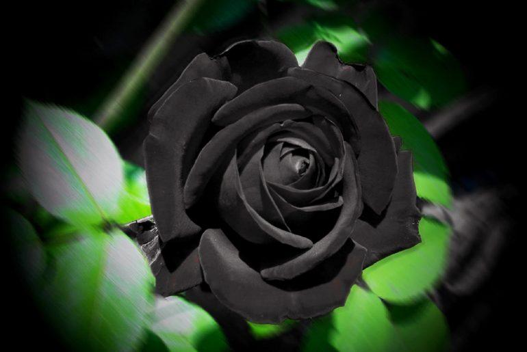 černé růže rostou jen v Turecku