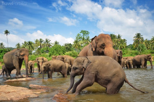 sloni v Pinnawala Elephant Orphanage