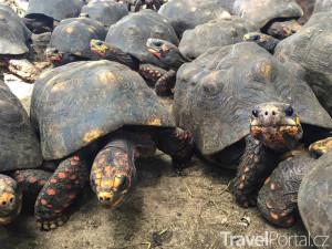 želvy na Barbadosu