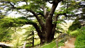 cedrový strom