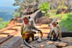 opičí zlodějky