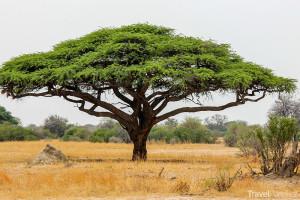 akácie je symbolem Afriky