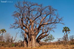 velký baobab