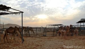 Dubaj nabízí i výlet za velbloudy