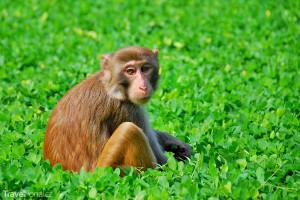 Makak rhesus na Opičím ostrově