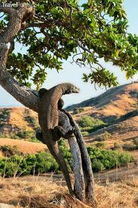 komodský drak na ostrově Flores