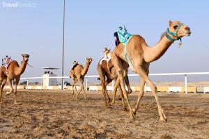 velbloudí dostihy v Kataru