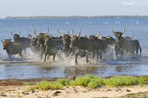 černí býci v Camargue