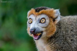 legrační zvířata aneb lemur korunkatý v akci