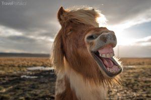 legrační zvířata aneb islandský kůň v akci