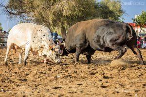 tradiční býčí zápasy ve Fujairah