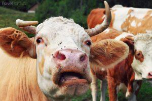 legrační zvířata aneb kráva v akci