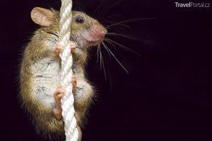 legrační myš