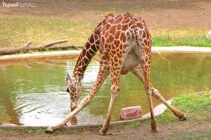 legrační žirafa