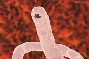 měchovec lidský (Ancylostoma duodenale)