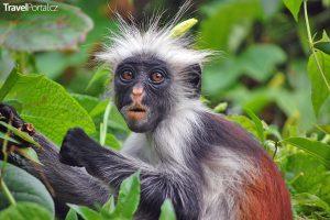 zanzibarská opice