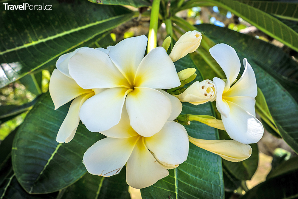 květiny na ostrově Lifou