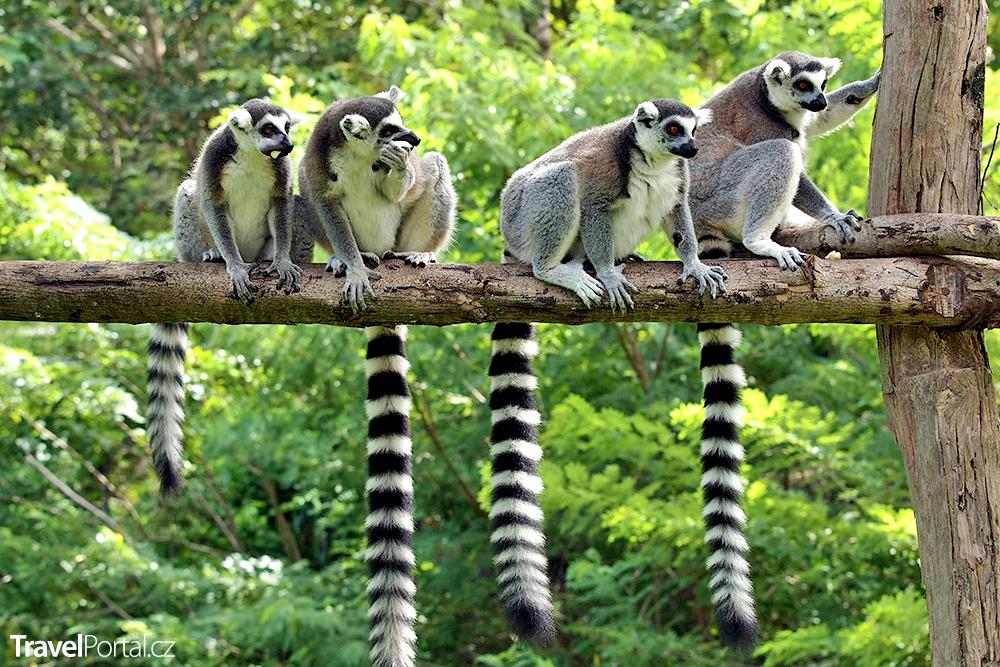 lemuři na ostrově Madagaskar