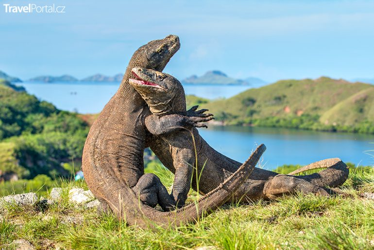 varani na ostrově Komodo