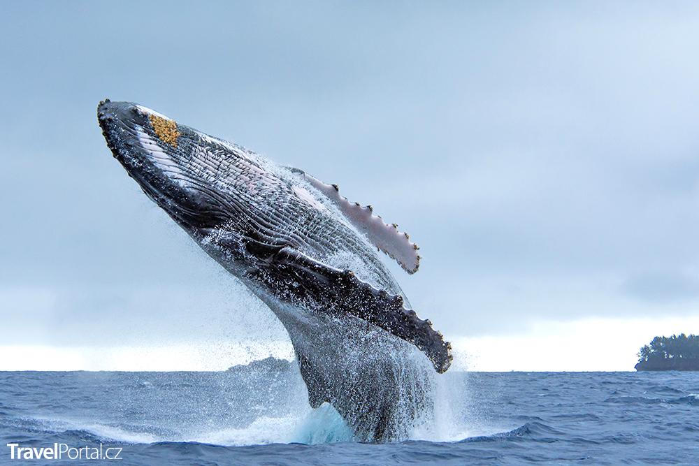 v létě lze v Království Tonga pozorovat velryby a také se s nimi potápět