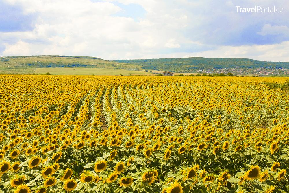 slunečnice u vesnice Kranevo