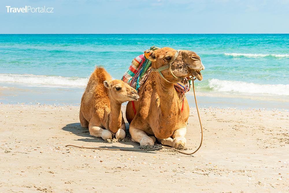 velbloudi na tuniské pláži
